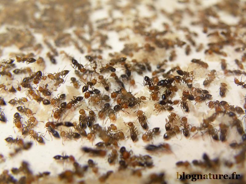 Elevage de fourmis