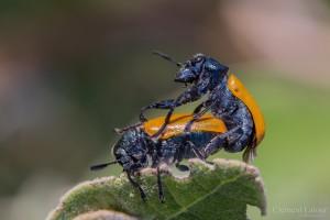 kamasutra_insectes_blognature_104