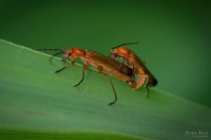 kamasutra_insectes_blognature_105
