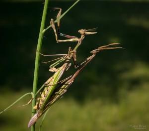 kamasutra_insectes_blognature_107