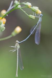 kamasutra_insectes_blognature_112