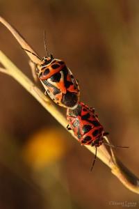 kamasutra_insectes_blognature_113