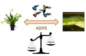 Équilibre azote plantes aquatiques / algues